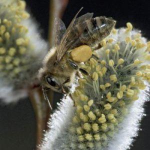 Pollensammlerin auf Weide